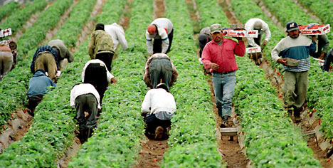 Image result for migrant strawberry fields